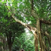 木のエネルギーを感じる!沖縄のおすすめ2大パワースポットを調査!