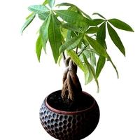 風水でも大人気!観葉植物パキラの効果と置く場所