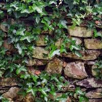 風水に効果的な観葉植物【アイビー】!育て方・置く場所は?