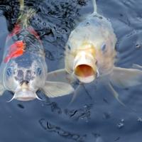 鯉が夢にでてきた!シチュエーションからわかる夢占いの意味とは?